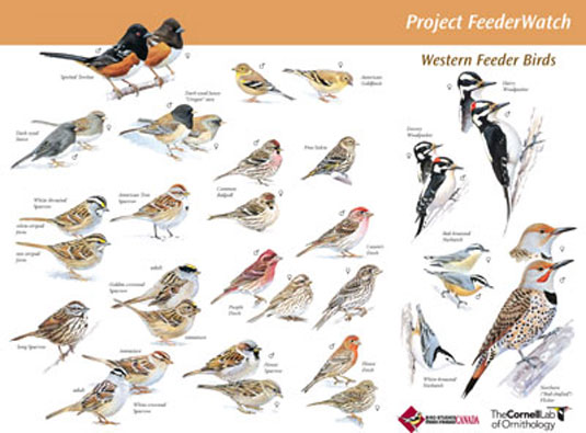 Cornell Ornithology Bird feeder program