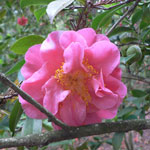 Thumbnail image for The Camellias are in Bloom at Descanso Gardens